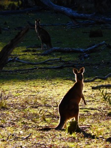 The ubiquitous wallaby on Bundella & Racecourse Track Hike, Coolah Tops NP (9km circuit)